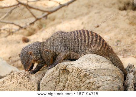 Banded mongoose as a Wild life animal walking on soil ground