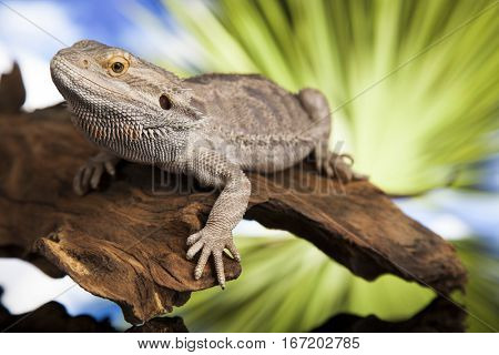 Root Bearded Dragon, Agama Lizard