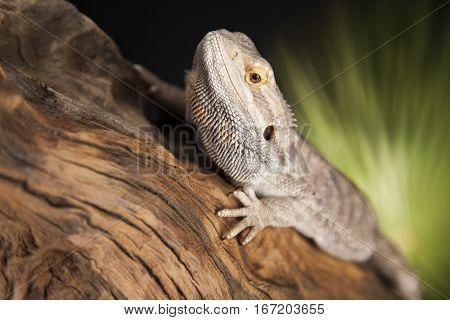 Agama bearded on black background, reptile
