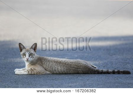 thai cat lying on traffic road and looking to camera with eyes contact
