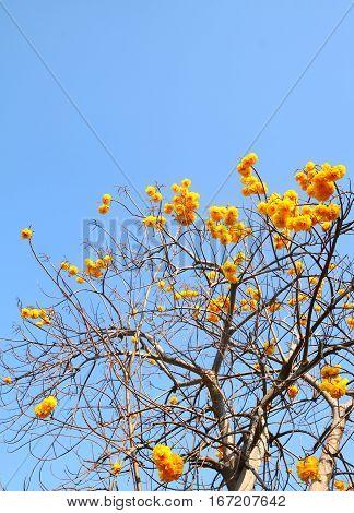 Cochlospermum regium Yellow cotton tree on nature blue sky background.
