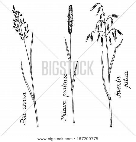 vector ink drawn wild cereal herbs, line drawing plants, timothy, wild oat and bluegrass , isolated line monochrome floral elements