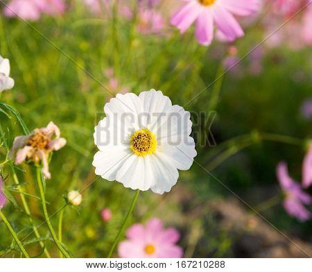 Beautiful Cosmos flower in field, cosmos blooming in field