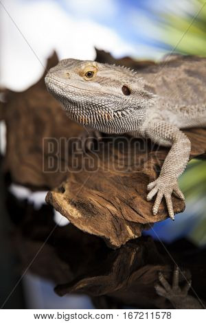 Root Bearded Dragon, Agama Lizard