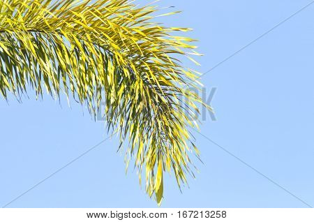 foxtail palm and blue sky background , palm