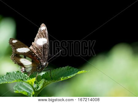 Beautiful male danaid eggfly butterfly with brown wings and white bands resting on green leaf
