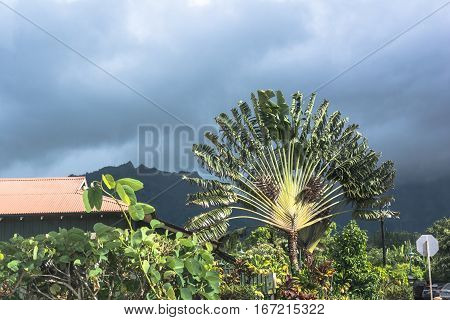 Travelers Palm and tropical vegetation in Hanalei, Kauai, Hawaii