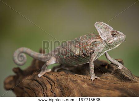 Green chameleon,lizard on green background