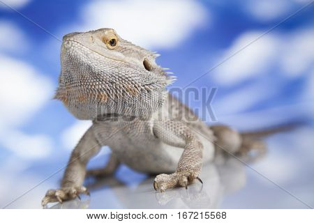 Beutiful Bearded Dragon Llizard, agama