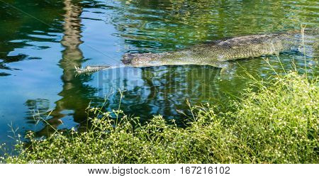 Endangered slender snout Gharial crocodile in water, with top jaw missing.