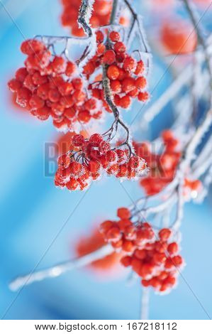 Bright red bunches of rowan in hoarfrost. Frozen rowan berries.