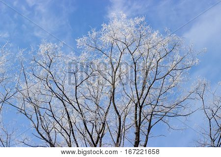 Branches of acacia tree covered with hoarfrost against the blue sky with clouds in winter morning
