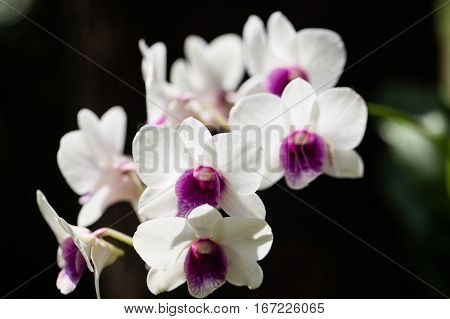 White orchid flowers on the dark background.