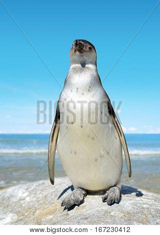 The Humboldt Penguin (Spheniscus humboldti) on the background sea.