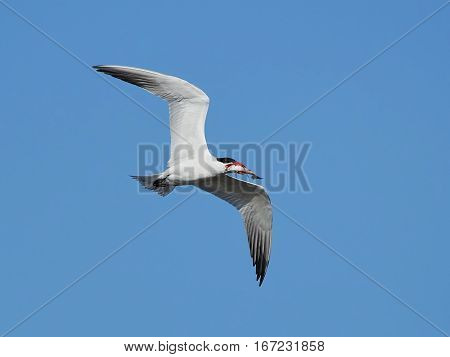Caspian tern (Hydroprogne caspia) in flight with a fish in it beak