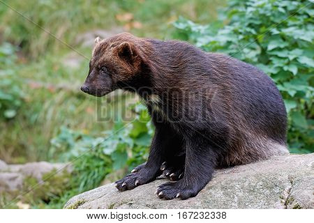 Wolverine (Gulo gulo) resting on a rock in its natural habitat