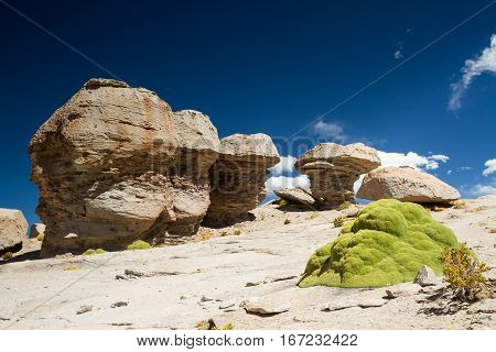 Yareta plant in the Atacama desert Altiplano Bolivia