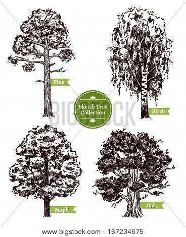Four various deciduous sketch trees set with pine maple birch and oak isolated on white background doodle vector illustration
