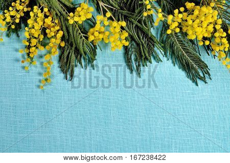 Mimosa flowers on the turquoise linen surface - spring background with mimosa flowers and copy space. Mimosa flowers background