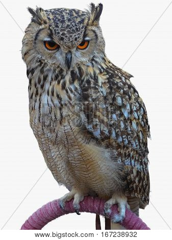 Royal Owl Isolated Over White
