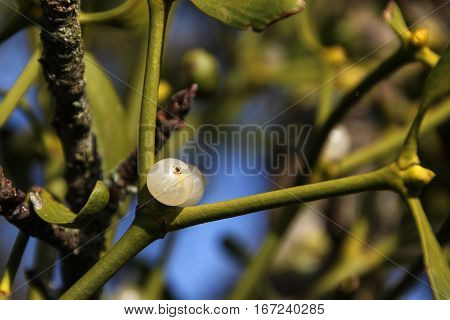branch of mistletoe (viscum album) with a berry