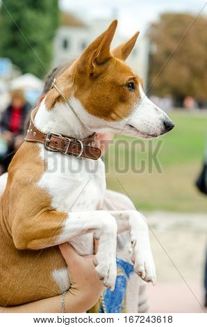 Basenji dog in the hands of the hostess