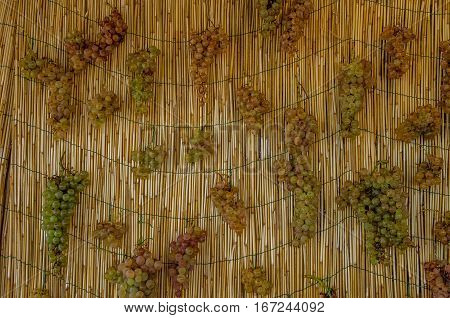 Clusters of white grapes hanging to dry for the production of Vin Santo a sweet wine to be drunk with desserts