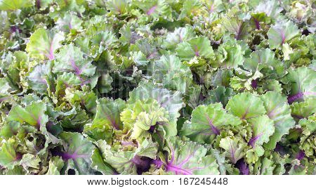 Kalettes a new vegetable a British-bred cross between Brussels sprouts and kale as food background.