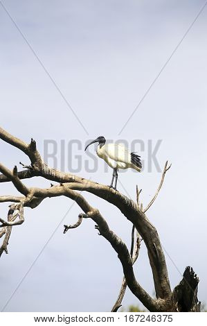 Ibis On A Tree