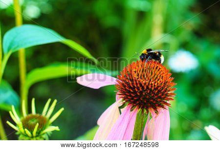 White-tailed Bumbleebee on Echinacea flower. Echinacea purpurea (eastern purple coneflower or purple coneflower) flowers in bloom in the garden with colorful background