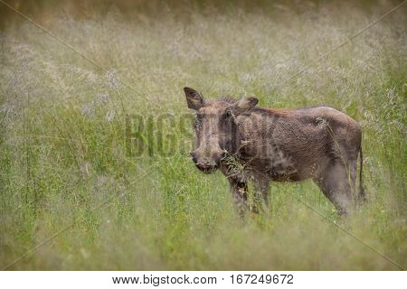 Common warthog standing in the long savannah grass