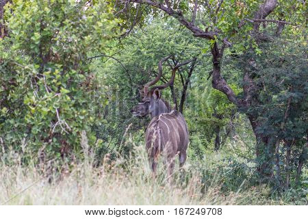 Greater kudu (tragelaphus) standing in the bush