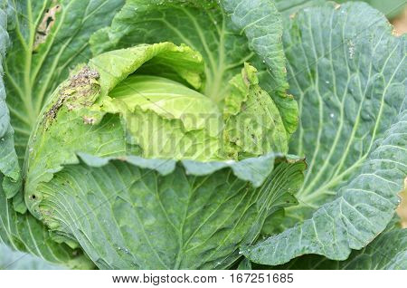 Green cabbage in a farm on the mountain land