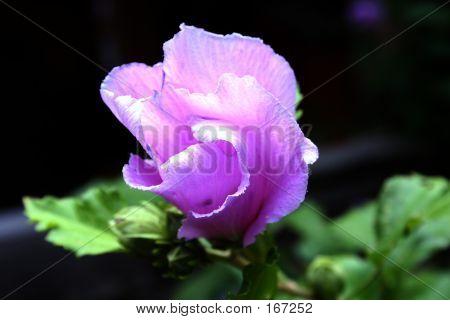 Purple Flower, Flower