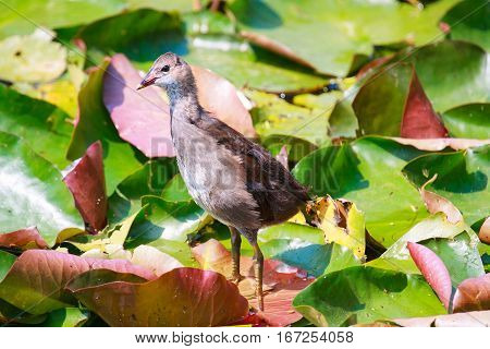 Common Moorhen (Gallinula chloropus) also known as the swamp chicken