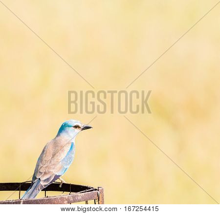 European Roller (Coracias garrulus) perching on rusted steel bin