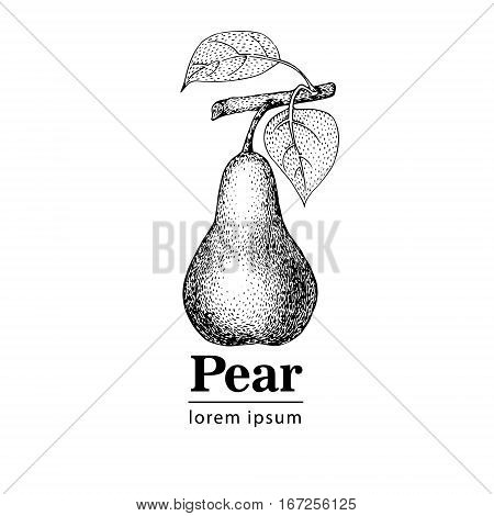 Pear vintage engraved hector illustration. Retro style