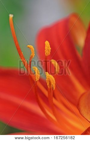 Close up of an orange Lily flower