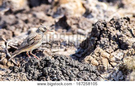 Beautifully camouflaged skylark against sun baked mud!