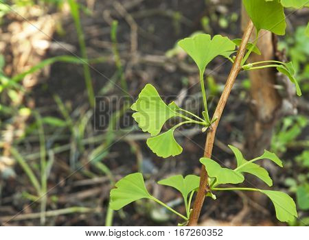 Close up and Soft Focus on Ginkgo Biloba Green Leaves