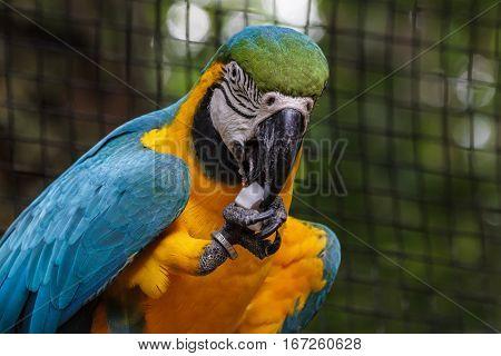 Huge parrot eating coconut in ParquesDasAves, iguassu, brazil