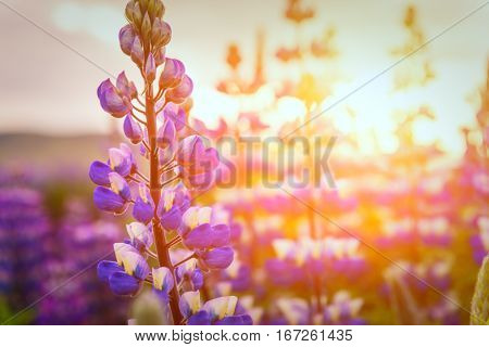 Typical Iceland landscape with lupine flowers field. Summer time