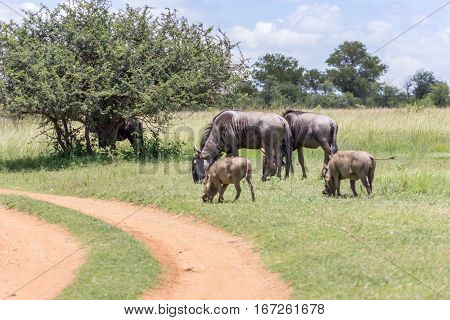 Blue wildebeest and common warthog grazing together