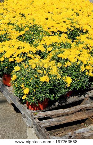 Several potted clay containers with bright yellow flowers set on wood crates at local nursery