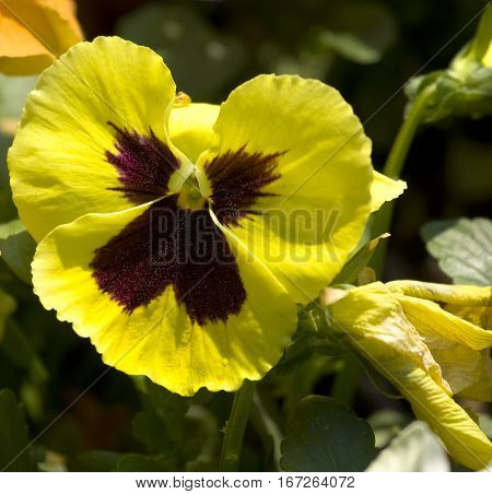 One flower pansy (viola tricolor) of yellow colour close.