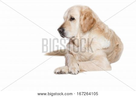 Lovely Golden Retriever Dog lying with its front paws crossed on the white background.