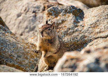 Sweet Curious California Ground Squirrel, Animal In California