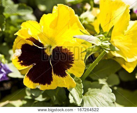 Pansy (viola tricolour) of yellow colour on flowerbed.