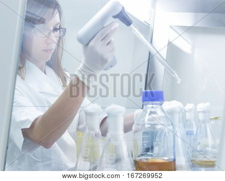 Focused PhD scientist pipetting LB medium into Erlenmeyer flask in laminar in scientific laboratory. Life science professional grafting genetically modified organisms in controled environment.