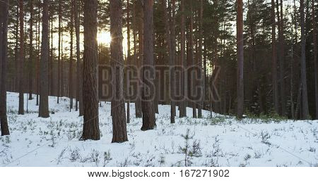 sunset in pine forest in winter, 4p photo